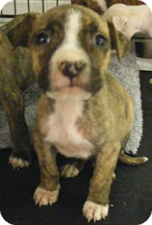 Staffordshire Bull Terrier Mix Puppy for adoption in Olive Branch, Mississippi -