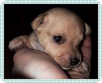 Chihuahua Mix Puppy for adoption in Santa Ana, California - Maverick (ARSG)