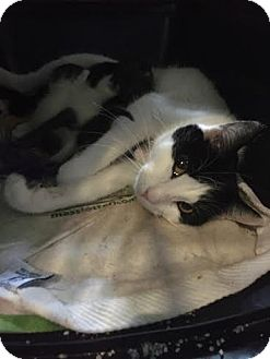 Domestic Shorthair Cat for adoption in Baltimore, Maryland - Jubilee