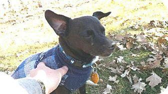 Chihuahua/Dachshund Mix Dog for adoption in Detroit Lakes, Minnesota - Cujo