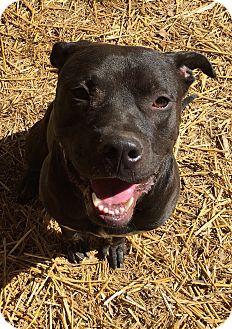 American Staffordshire Terrier/Labrador Retriever Mix Dog for adoption in Los Angeles, California - RANGER - COURTESY