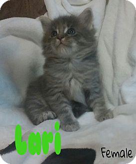 Domestic Mediumhair Kitten for adoption in Saint Clair Shores, Michigan - Lari