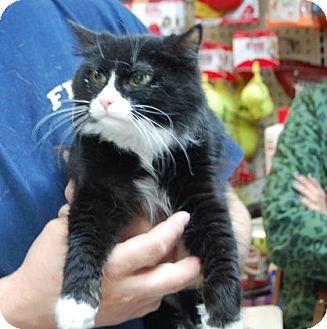 Domestic Longhair Kitten for adoption in Brooklyn, New York - SharkCat