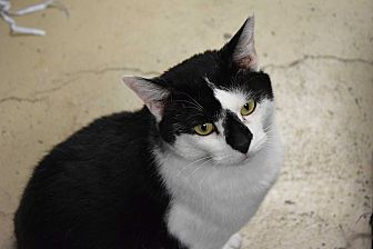 Domestic Mediumhair Cat for adoption in Pottsville, Pennsylvania - Bucky