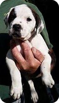 American Bulldog Mix Puppy for adoption in Gainesville, Florida - Princess