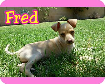Chihuahua Mix Puppy for adoption in Mesa, Arizona - Fred