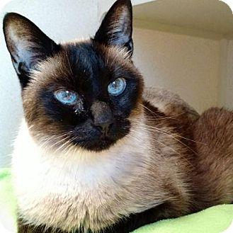 Siamese Cat for adoption in Denver, Colorado - Pharroh