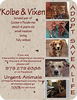 Cocker Spaniel/Poodle (Miniature) Mix Dog for adoption in Hearne, Texas - Kobe and Vixen