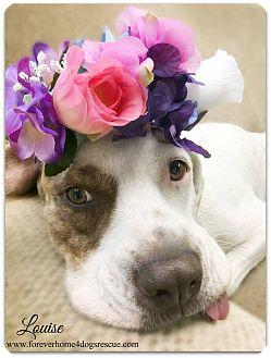 Labrador Retriever/Boxer Mix Dog for adoption in Pascagoula, Mississippi - Louise