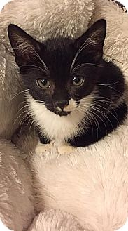 Domestic Shorthair Kitten for adoption in Charlotte, North Carolina - A..  Tandy