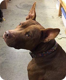 American Staffordshire Terrier Mix Dog for adoption in Sturbridge, Massachusetts - Lola