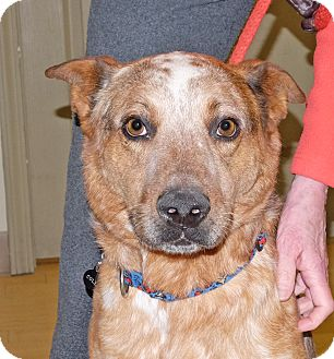 Australian Cattle Dog Mix Dog for adoption in Spokane, Washington - Cole