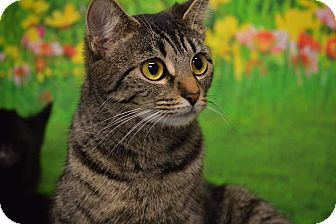 American Shorthair Cat for adoption in Rockwood, Tennessee - SWEETPEA