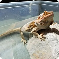 Adopt A Pet :: Belle - Burlingame, CA