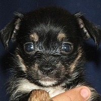 Cairn Terrier Mix Puppy for adoption in Seattle, Washington - Antheia Hicks