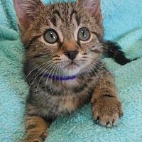 Adopt A Pet :: Vincent - Reston, VA