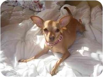 Chihuahua Dog for adoption in bronx, Oklahoma - Hazel