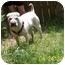 Photo 2 - Shar Pei Dog for adoption in Houston, Texas - Buster