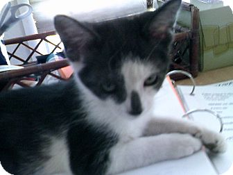 Domestic Shorthair Kitten for adoption in Fallon, Nevada - PeeWee