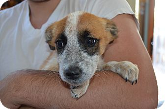 Australian Shepherd Mix Puppy for adoption in Westminster, Colorado - Benny