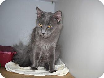 Russian Blue Cat for adoption in Trenton, New Jersey - Velvet (in foster)