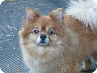 Pomeranian Dog for adoption in Wrightsville, Pennsylvania - Cocoa