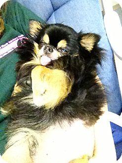 Chihuahua Mix Dog for adoption in Columbus, Ohio - Tuco- Courtesy post