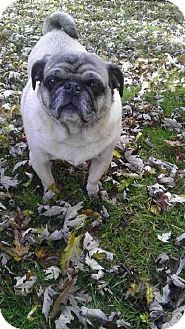Pug Dog for adoption in Walled Lake, Michigan - Thomas