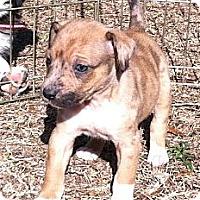 Adopt A Pet :: Prancer - Columbia, SC