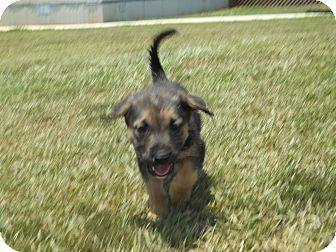 Shepherd (Unknown Type) Mix Puppy for adoption in Thomaston, Georgia - Mossberg