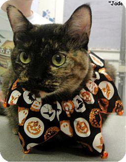 Domestic Shorthair Cat for adoption in Key Largo, Florida - Jade