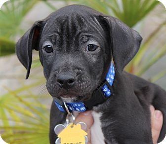 American Pit Bull Terrier Mix Puppy for adoption in Las Vegas, Nevada - MERLOT