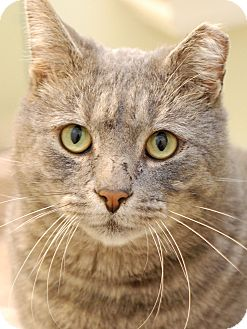 Domestic Shorthair Cat for adoption in Nashville, Tennessee - Joe