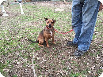 Labrador Retriever/Catahoula Leopard Dog Mix Dog for adoption in Kittery, Maine - Jessie