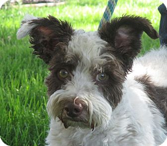 Terrier (Unknown Type, Small)/Poodle (Miniature) Mix Dog for adoption in Turlock, California - Benson