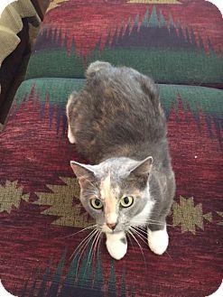Domestic Shorthair Cat for adoption in Dahlgren, Virginia - Alexandra