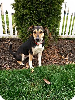 Shepherd (Unknown Type) Mix Dog for adoption in New Oxford, Pennsylvania - Violet