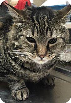 Domestic Shorthair Cat for adoption in Parma, Ohio - Kenya