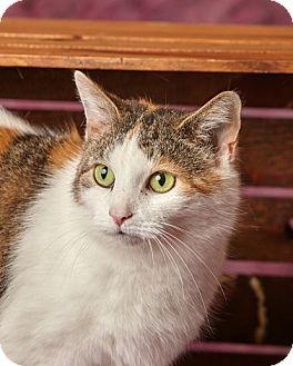 Calico Cat for adoption in Harrisonburg, Virginia - Chin Chin