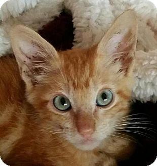 Domestic Shorthair Kitten for adoption in San Antonio, Texas - Sherlock