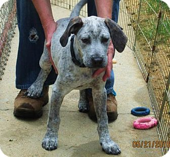 American Bulldog/English (Redtick) Coonhound Mix Puppy for adoption in Brookside, New Jersey - Awesome