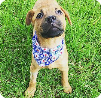 German Shepherd Dog/Boxer Mix Puppy for adoption in Brattleboro, Vermont - Wren