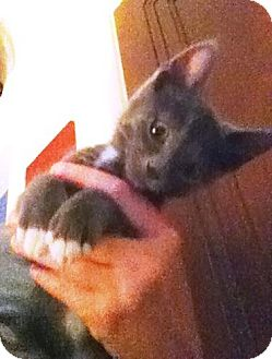 Domestic Shorthair Kitten for adoption in Fenton, Missouri - HULU