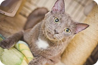 Domestic Shorthair Cat for adoption in East McKeesport, Pennsylvania - Jeff