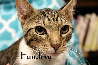 Domestic Shorthair Cat for adoption in Wichita Falls, Texas - Humphrey