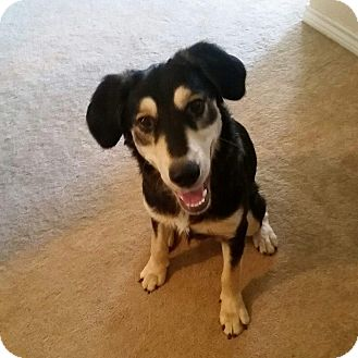 Collie/Shepherd (Unknown Type) Mix Dog for adoption in Wichita Falls, Texas - Roscoe