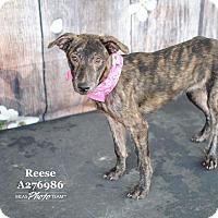 Adopt A Pet :: Reese - West Warwick, RI