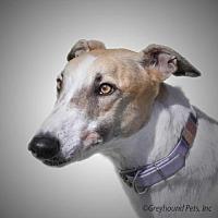 Adopt A Pet :: Pine - Woodinville, WA