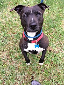 Pit Bull Terrier Mix Dog for adoption in Monroe, Connecticut - BABs