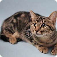Adopt A Pet :: DAWSON-MARBLE CAKE LOVE MUFFIN - Plano, TX